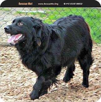 Border Collie/Newfoundland Mix Dog for adoption in E. Wenatchee, Washington - Jenny