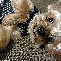 Adopt A Pet :: Scooby - Greensboro, MD