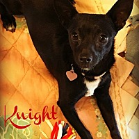 Miniature Pinscher/Chihuahua Mix Dog for adoption in Phoenix, Arizona - KNIGHT