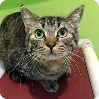 Domestic Shorthair Cat for adoption in Janesville, Wisconsin - Blueberry