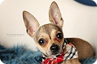 Chihuahua Dog for adoption in Nashville, Tennessee - Peppers