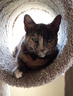 Domestic Shorthair Cat for adoption in Brantford, Ontario - Momma