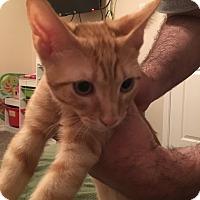 Adopt A Pet :: Sake (Sakie) - Dallas, TX