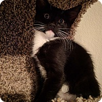 Adopt A Pet :: Chin - Scottsdale, AZ