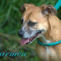 Adopt A Pet :: Carmen - Middleburg, FL