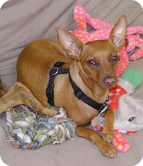 Miniature Pinscher Dog for adoption in Ashland, Virginia - Louis-ADOPTED!!!