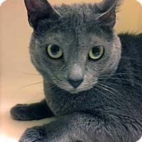 Domestic Shorthair Cat for adoption in Merrifield, Virginia - Dolly