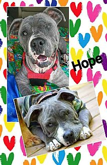 Pit Bull Terrier/Staffordshire Bull Terrier Mix Dog for adoption in Mount Pleasant, South Carolina - Hope