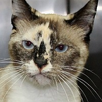 Adopt A Pet :: Koty - Savannah, MO