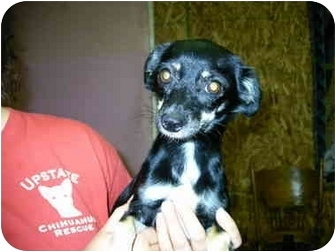 Chihuahua Dog for adoption in Baltimore, Maryland - Boogs(adopted)