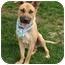 Photo 4 - German Shepherd Dog/Rhodesian Ridgeback Mix Dog for adoption in Sacramento, California - Marmaduke cool boy