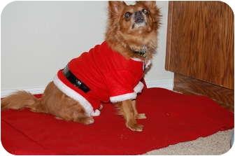 "Pomeranian/Chihuahua Mix Dog for adoption in Edmond, Oklahoma - Uri""Little Lover!"""