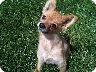 Pomeranian Dog for adoption in Hilliard, Ohio - Lady