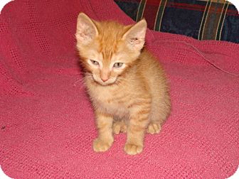 Domestic Shorthair Kitten for adoption in Spotsylvania, Virginia - Scotch (Scotty)