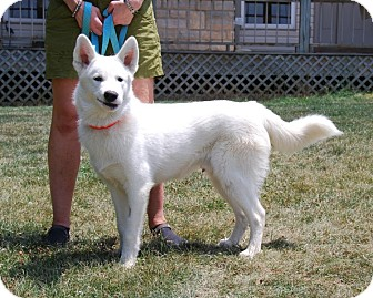 Siberian Husky/German Shepherd Dog Mix Puppy for adoption in Mount Gilead, Ohio - Glacier
