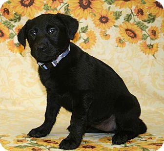 Labrador Retriever Mix Puppy for adoption in Westminster, Colorado - Cherry