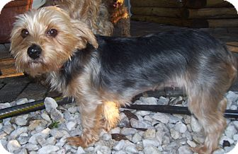 Yorkie, Yorkshire Terrier Dog for adoption in CAPE CORAL, Florida - Holly