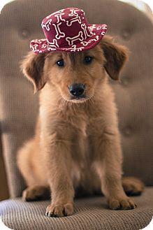 Golden Retriever Puppy for adoption in Auburn, California - Burt