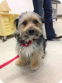 Terrier (Unknown Type, Small) Mix Dog for adoption in Los Angeles, California - MACBETH