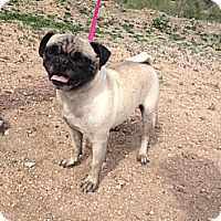 Adopt A Pet :: Gorgeous - Westminster, CO