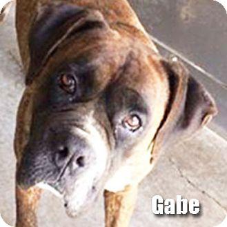Boxer Dog for adoption in Encino, California - Gabe