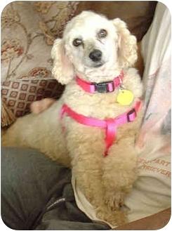 Poodle (Miniature) Dog for adoption in Nuevo, California - Bubbles