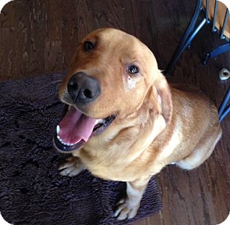 Labrador Retriever/Golden Retriever Mix Dog for adoption in Homewood, Alabama - Finnigan