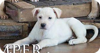 Boxer/Labrador Retriever Mix Puppy for adoption in Vandalia, Illinois - Rupert