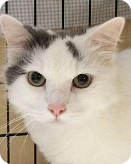 Domestic Longhair Cat for adoption in Medford, Massachusetts - Snowball