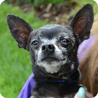 Chihuahua Mix Dog for adoption in Denver, Colorado - Holden