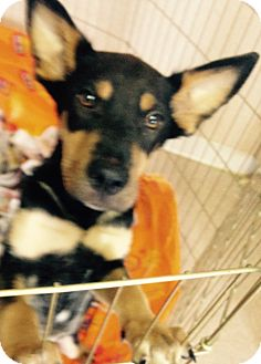 Shepherd (Unknown Type)/Rottweiler Mix Puppy for adoption in Pompton Lakes, New Jersey - MINNIE GIRL