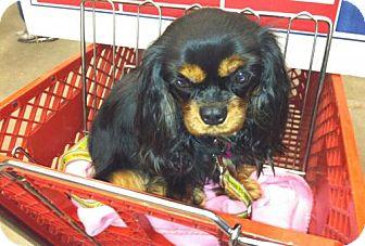 Cavalier King Charles Spaniel Dog for adoption in Boxborough, Massachusetts - Meghan