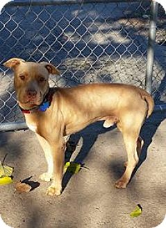 American Pit Bull Terrier Mix Dog for adoption in Olivehurst, California - Rennie