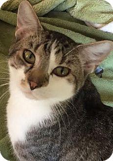 Domestic Shorthair Cat for adoption in Acushnet, Massachusetts - Rocky