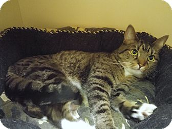 Domestic Shorthair Cat for adoption in New Castle, Pennsylvania - Critter