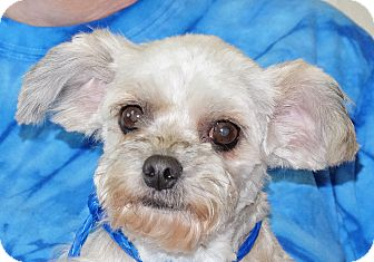 Maltese Mix Dog for adoption in Spokane, Washington - Skeeter