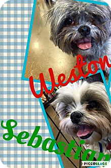 Shih Tzu Dog for adoption in Scottsdale, Arizona - Sebby