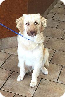 Golden Retriever/Australian Shepherd Mix Puppy for adoption in Oswego, Illinois - Shamrock
