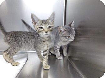 Domestic Shorthair Kitten for adoption in Osceola, Arkansas - KITTENS