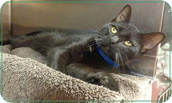 Domestic Shorthair Kitten for adoption in Marietta, Georgia - LUCKY