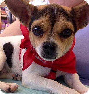 Rat Terrier Dog for adoption in Hockessin, Delaware - Chrissy