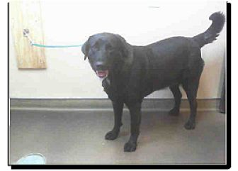 Labrador Retriever Mix Dog for adoption in Las Vegas, Nevada - Bella