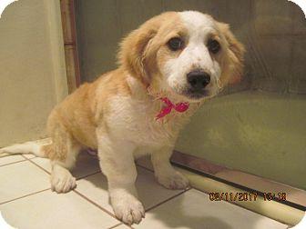 Poodle (Miniature)/Corgi Mix Puppy for adoption in La Mesa, California - PUPPY BOY CORY