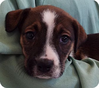 Rottweiler/Australian Cattle Dog Mix Puppy for adoption in Grants Pass, Oregon - Athena
