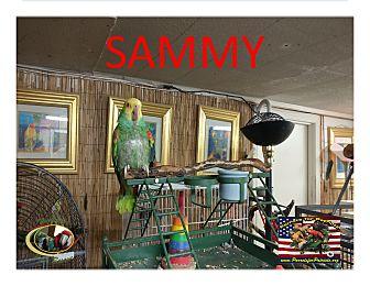 Amazon for adoption in Vancouver, Washington - Sammy Double Yellow Headed Ama