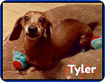 Dachshund Dog for adoption in Green Cove Springs, Florida - Tyler