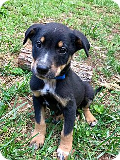 Beagle Mix Puppy for adoption in Washington, D.C. - Caen (RBF)
