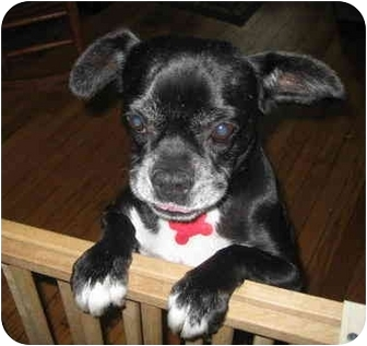Boston Terrier/Pug Mix Dog for adoption in Warren, New Jersey - Marylou