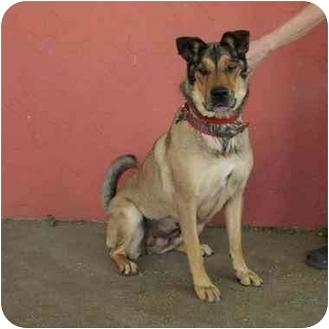 Shar Pei/German Shepherd Dog Mix Dog for adoption in Denver, Colorado - Melody