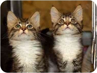 Maine Coon Kitten for adoption in Davis, California - Maine Kitten 1 (URGENT)